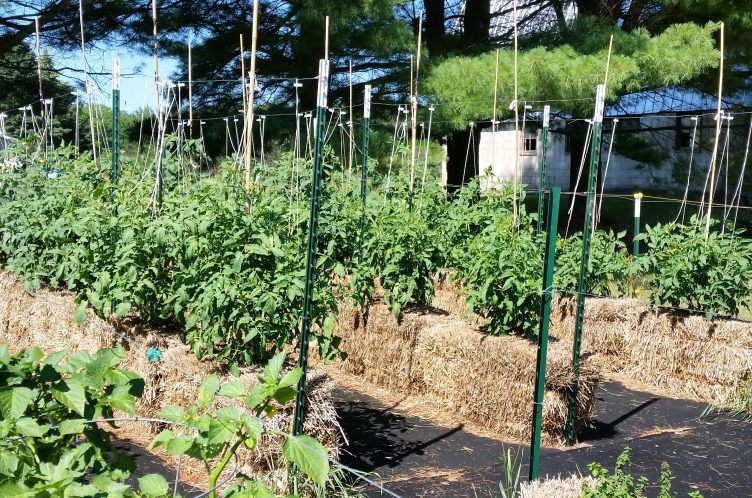 2016 Straw Bale Tomatoes on July 19