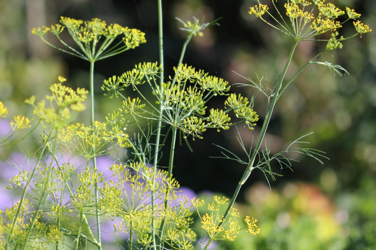 Growing Dill: A Tasty Herb with Health Benefits