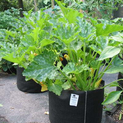 Growing Zucchini In Containers? Yep!