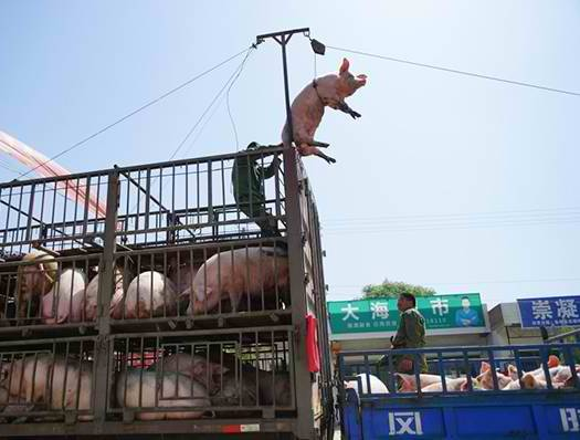 Pig Flies To Market (Image: CEN)