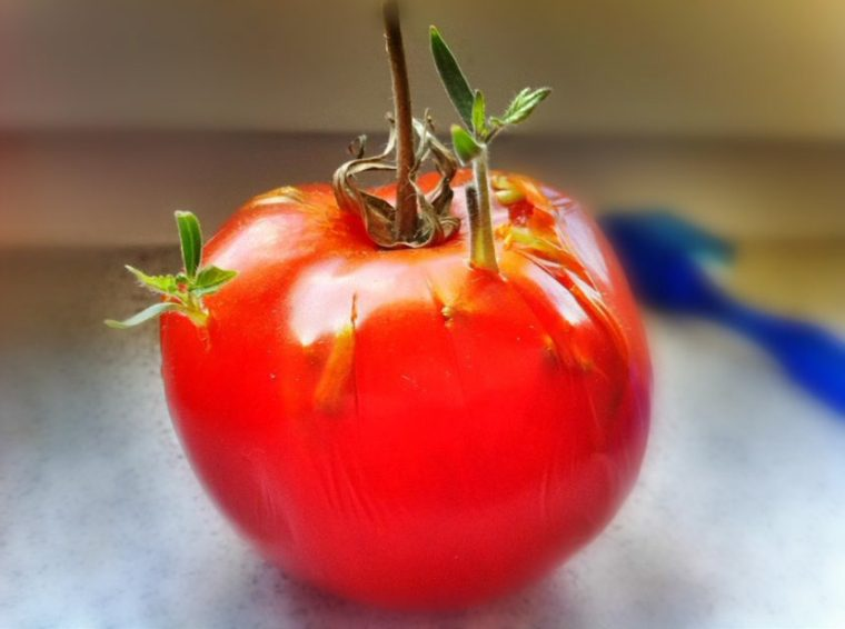 Seeds Sprouting Inside Tomato – Not From Cold Storage!