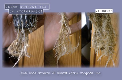 new root growth in 72 hours