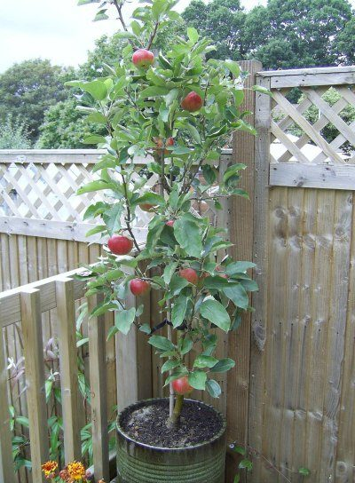 grow an apple tree