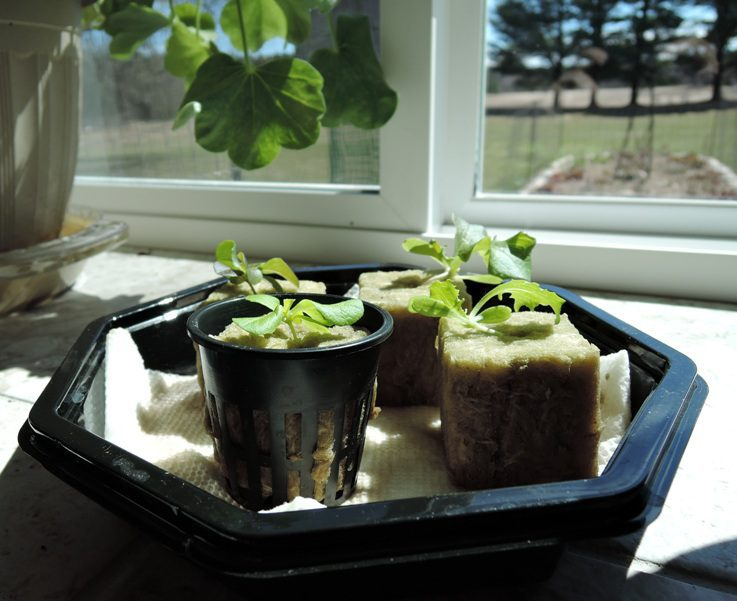 Recycled Hydroponics: Lettuce Starts in Germination Chamber
