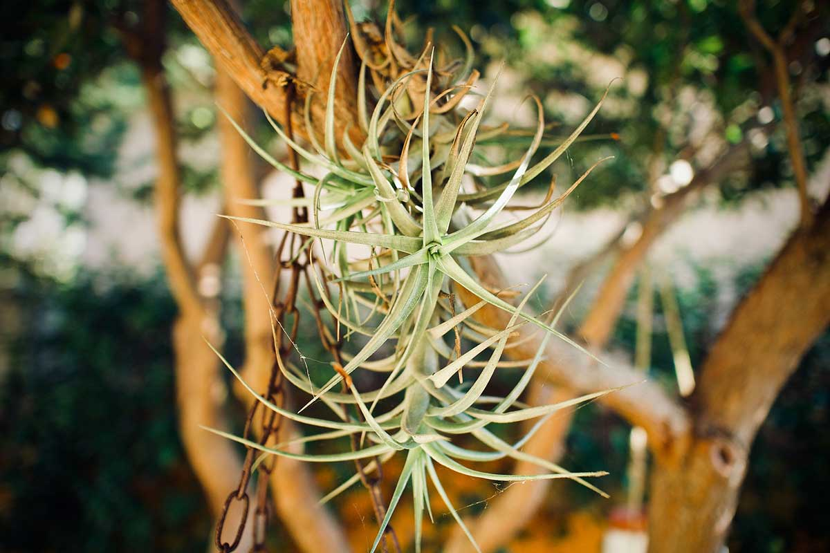 Air Plants are easy to maintain