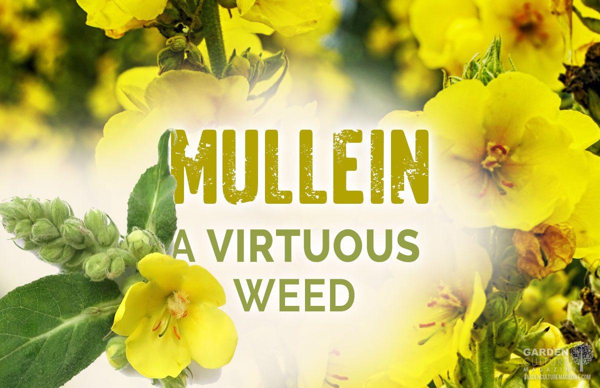 mullein medicinal weed