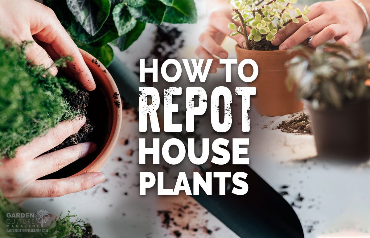 repotting houseplants