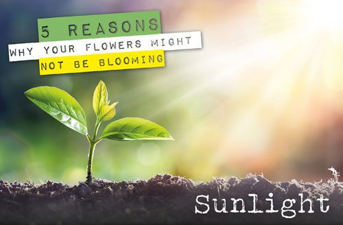 reasons for flowers not blooming