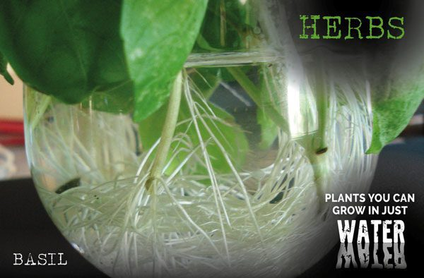 herbs grow in just water