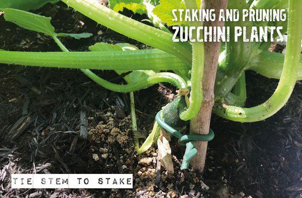 staking zucchini