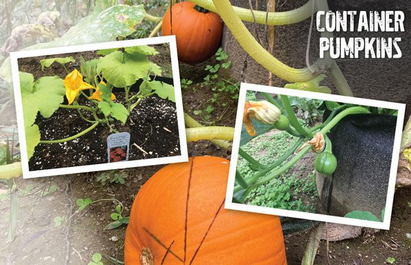 How to grow a pumpkin in a container
