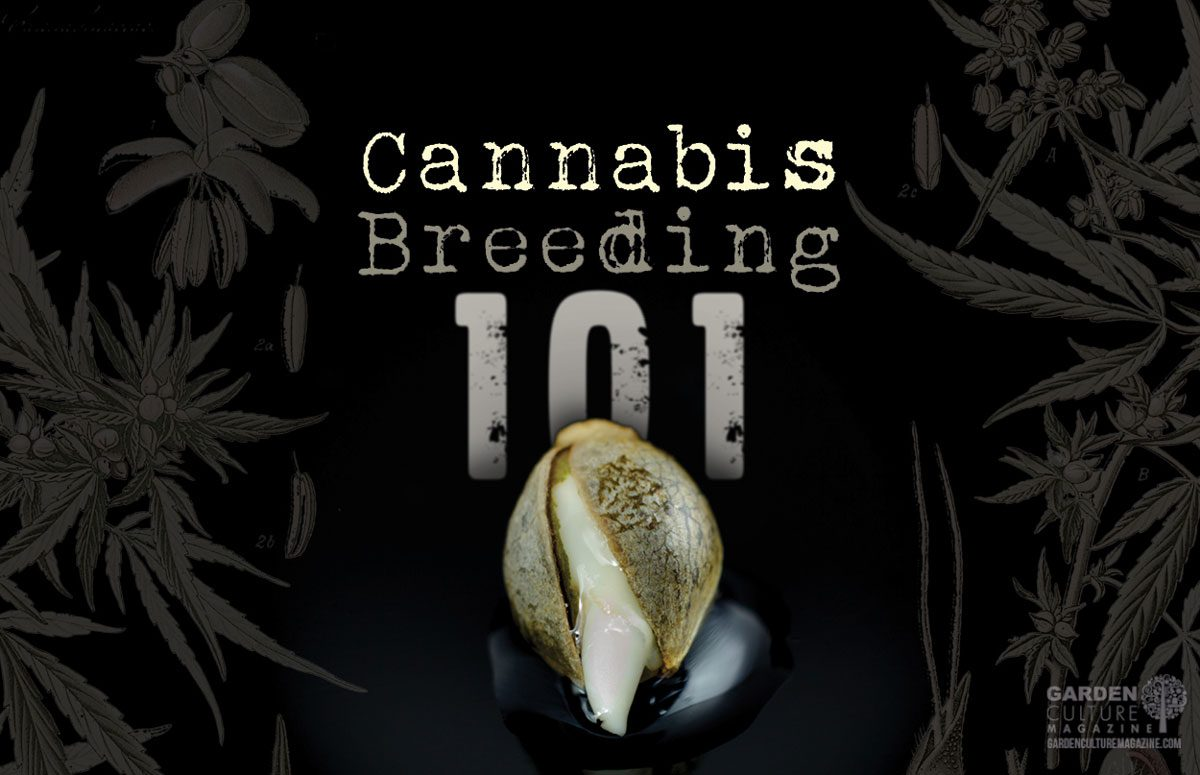 Cannabis Breeding