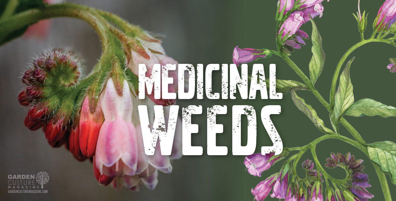 Medicinal Weeds: Comfrey