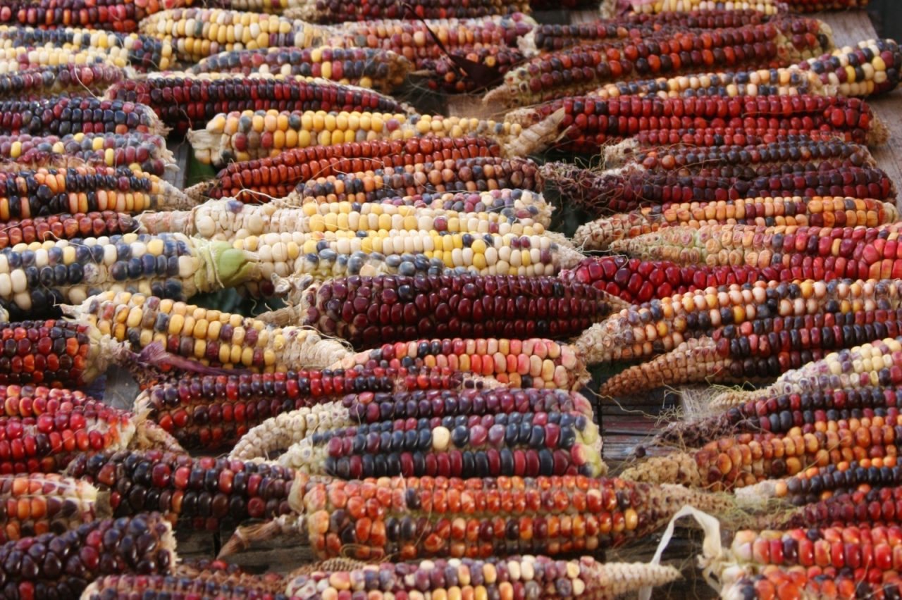 Adaptive Edible Indian Corn
