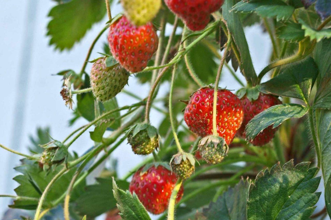 Homegrown Strawberries: DIY Hydroponic Tower Garden