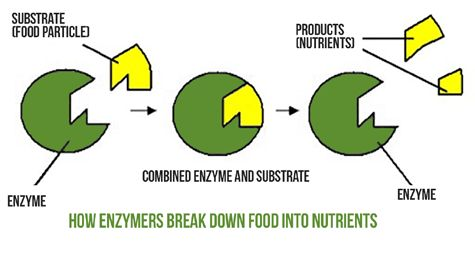 How Enzymes for Plants Work