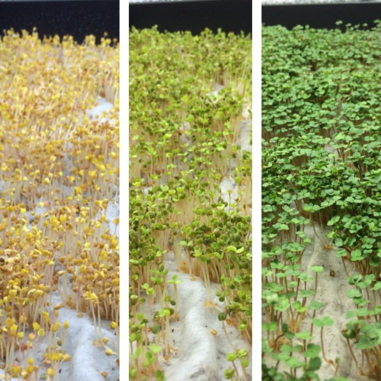 Rapid Seedling Etoliation in Kitchen Microgreens Farm