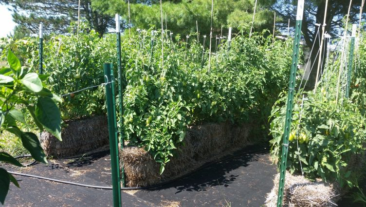 Late August Straw Bale Tomatoes (2016)