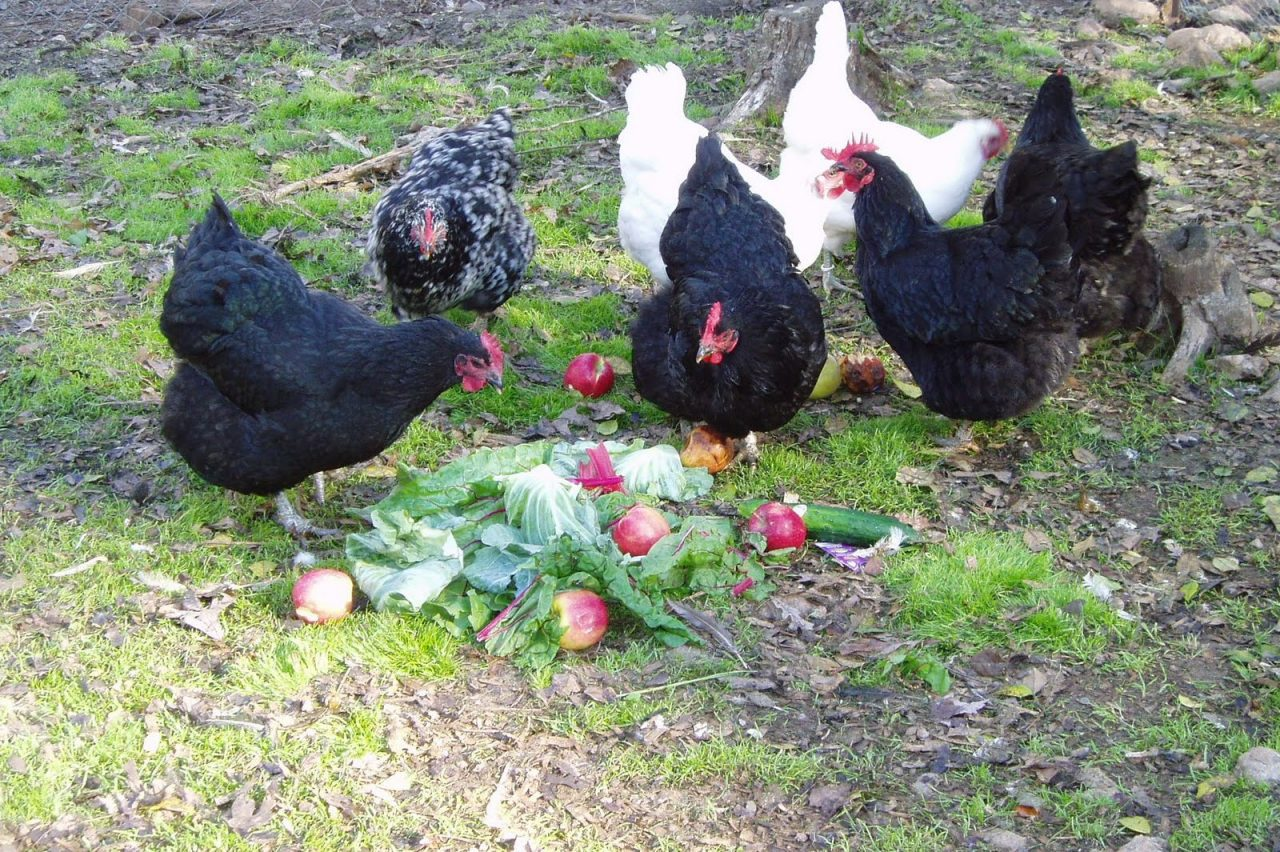 Better Eggs from Backyard Chickens Without Grain | Garden ...