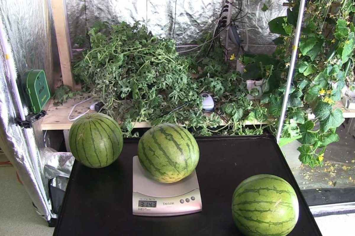 How To (& How Not To) Grow Watermelon Indoors